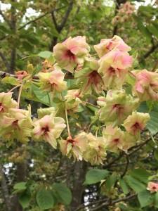 Green Cherry Blossoms in Kasuga Botanical Garden, Nara
